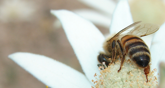 By Louise Docker from sydney, Australia (Bee on Flannel Flower) [CC-BY-2.0 (www.creativecommons.org/licenses/by/2.0)], via Wikimedia Commons